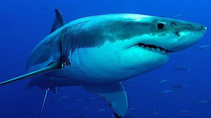 Warnsignal! Hai-Population vor Kalifornien verdreifacht