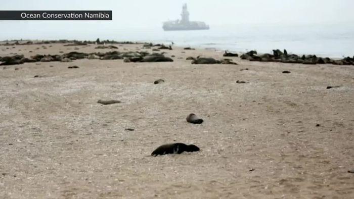 Massenhaftes Robben-Sterben gibt Rätsel auf