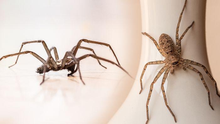 Im Herbst kann man vermehrt Hauswinkelspinnen im Haus finden.