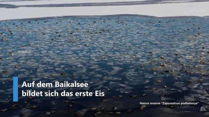 Tausende Robben genießen bereits den Winter