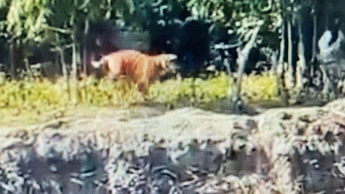 Dorfbewohner entsetzt! Wilder Tiger attackiert Mann