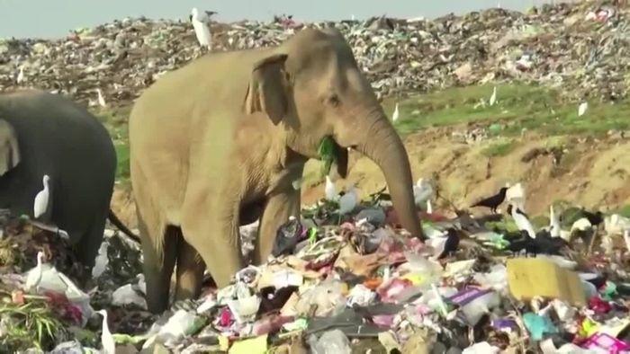 Wie traurig! Elefanten müssen auf Müllkippe nach Essen suchen