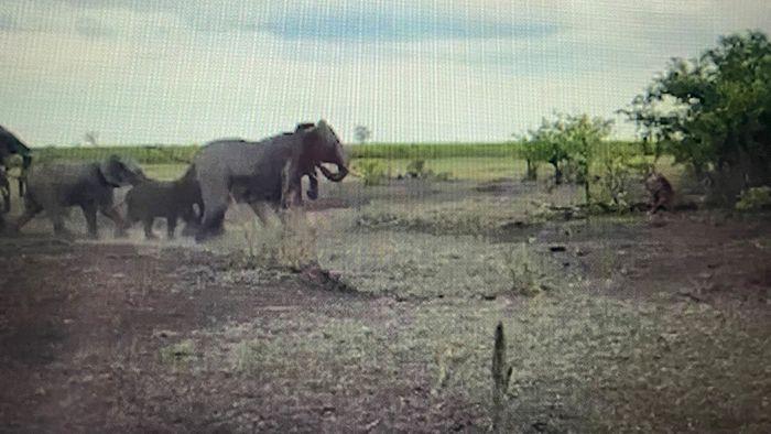 Elefanten gegen Löwen: Showdown in der Savanne