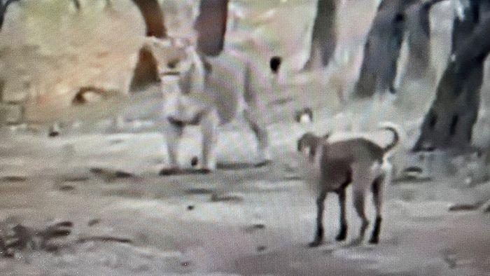 Furchtloser Hund schlägt Löwin in die Flucht