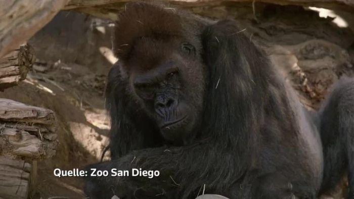Gorillas in USA mit Corona infiziert