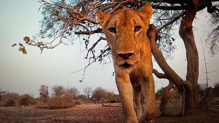 Löwin macht sich über GoPro-Kamera her
