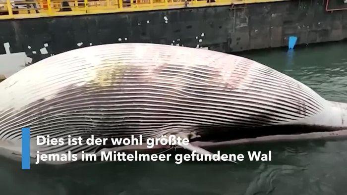 Größter Wal des Mittelmeers: Riesiger Kadaver in Italien