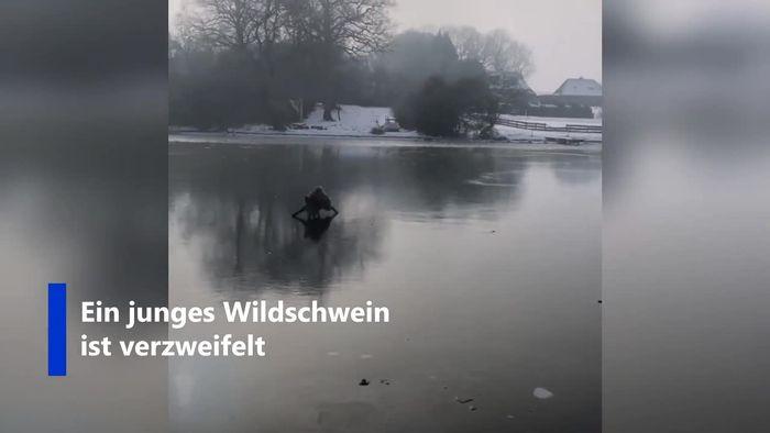 Schleswig-Holstein: Wildschwein verzweifelt auf zugefrorenem See