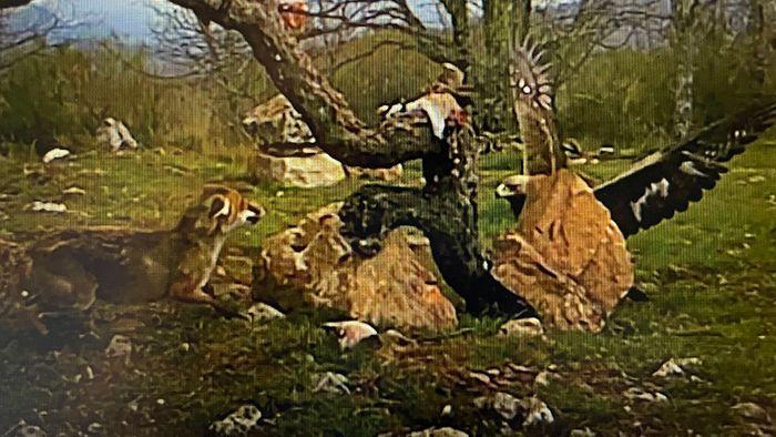 Kampf um Beute: Fuchs und Adler mit intensivem Gefecht