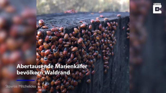 Frühlingsboten: Abertausende Marienkäfer treffen sich zur Paarung