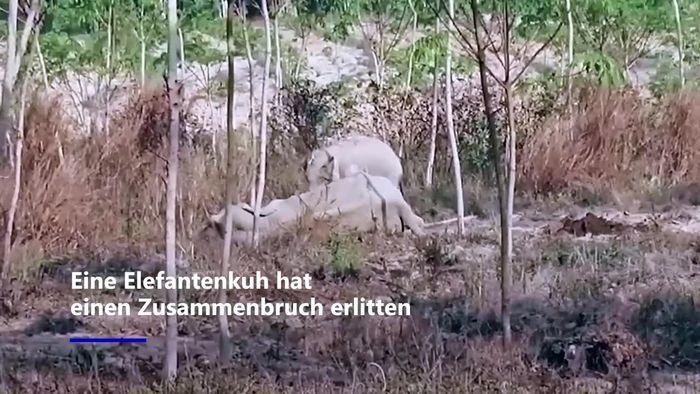 Herzergreifend: Kleiner Elefant verteidigt verletzte Mutter