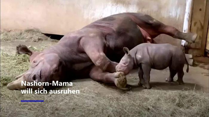 Nashorn-Mama will schlafen – doch Baby hat andere Pläne