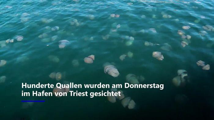 Lungenquallen-Invasion im Hafen von Triest