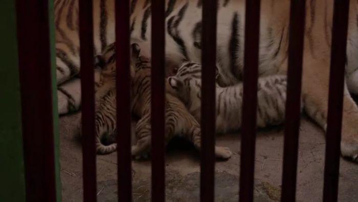 Weißer Tiger und drei Geschwister geboren