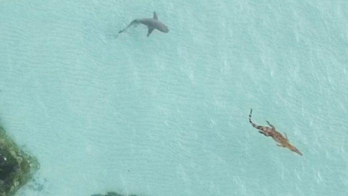 Gigantenduell: Tigerhai macht Jagd auf Krokodil