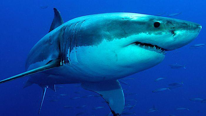 Riesenhai vor Cornwall: Zweitgrößter Fisch der Welt in Fluss gesichtet