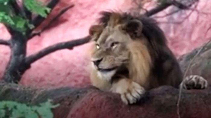 Corona-Pandemie: Acht Löwen in Zoo positiv getestet
