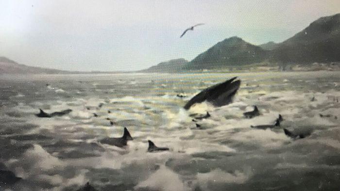 Riesige Delfinschule und Wal umzingeln Angler