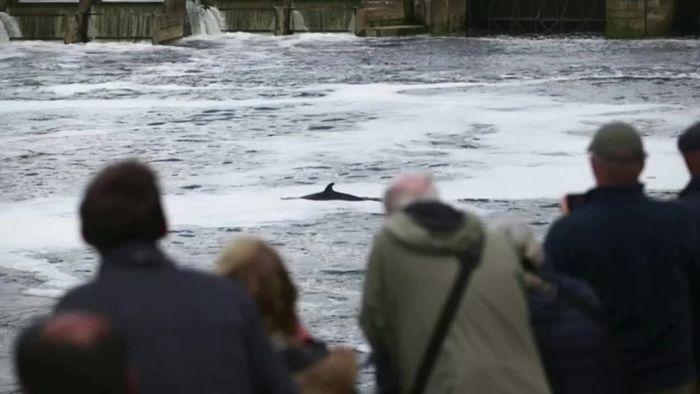 Schon wieder in Themse geschwommen: Wal bereitet Sorgen