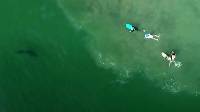 Weiße Haie schwimmen friedlich neben Surfern