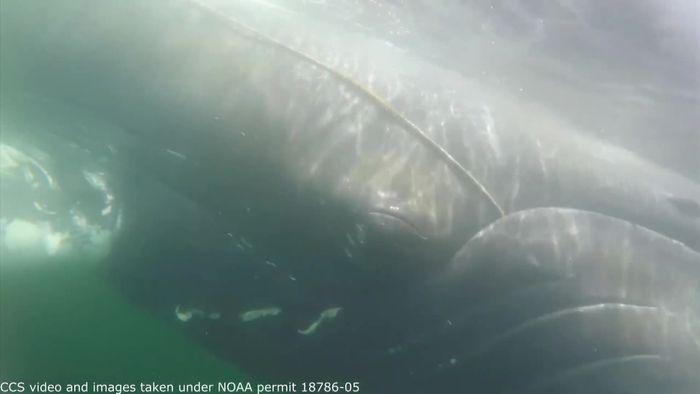 Gefährliche Rettungsaktion: Buckelwal von Leine im Maul befreit