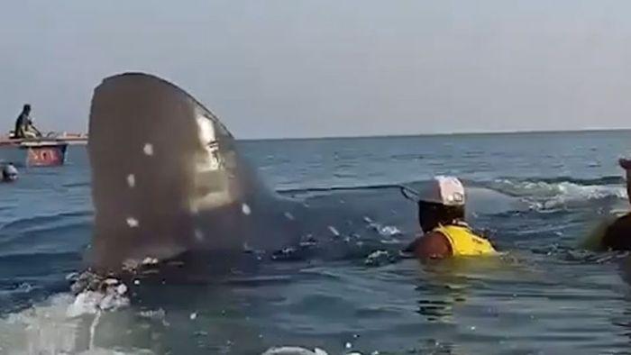 Retter befreien riesigen Walhai aus Fischernetz