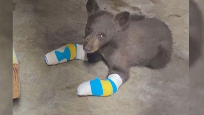 Bei Waldbrand verletzt: Kleiner Bär wird wieder aufgepäppelt