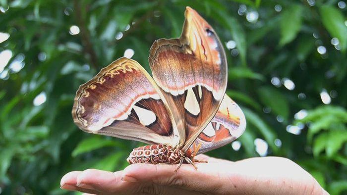 Riesen-Schmetterling: Dorfbewohner entdecken Atlasspinner