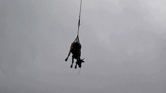 Kuh im Anflug: Almabtrieb mit Hubschrauber