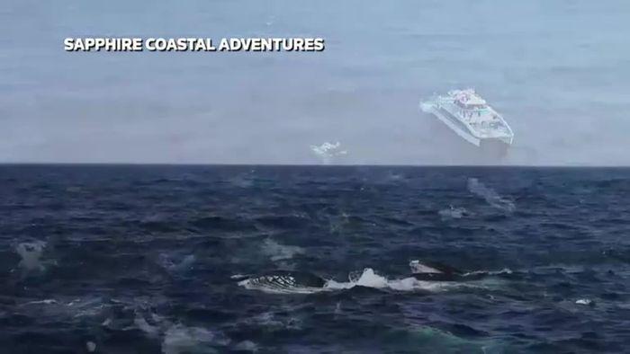 Riesiger Fischauflauf: Buckelwale auf Beutezug