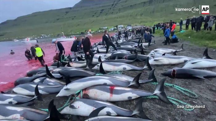 Kritik an blutiger Tradition: Über 1400 Delfine getötet