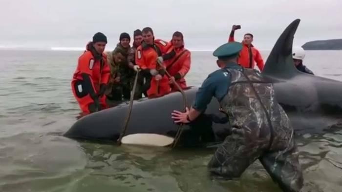Für einen jungen gestrandeten Orca gab es an der Küste der Magadan Region im Osten Russlands ein Happy End.