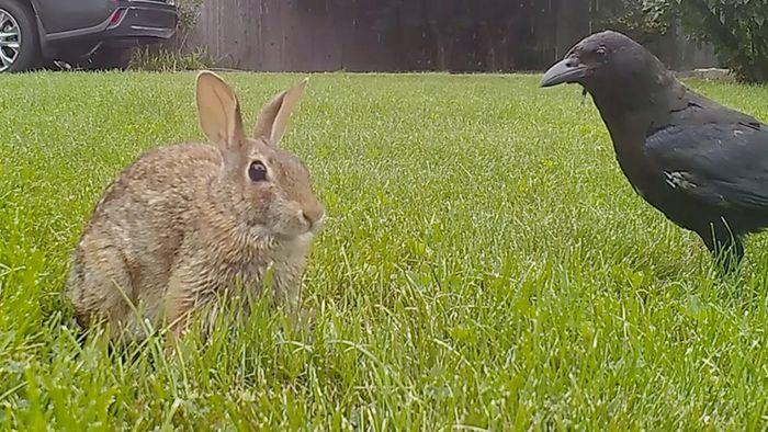 Raben stürzen sich auf Kaninchen – Hasenmutter verhindert Gemetzel