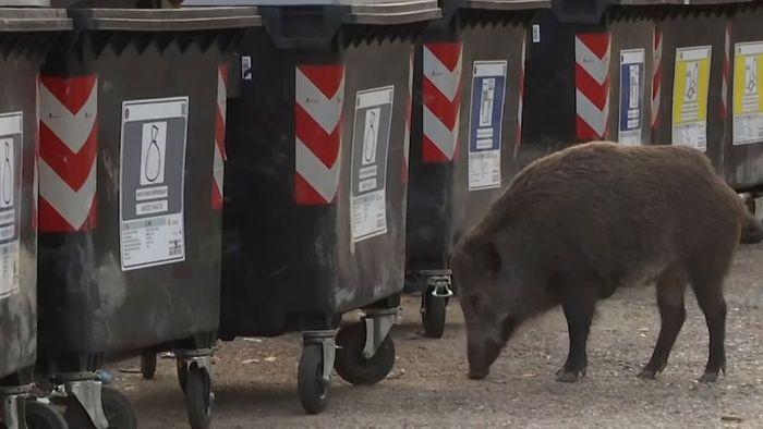 Roms Wildschweinplage: Hungrige Tiere erobern die Stadt