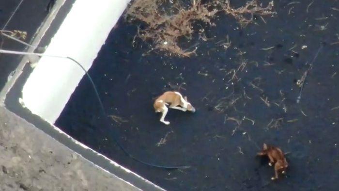 Von Lava eingeschlossen: Hunde auf La Palma per Drohne versorgt